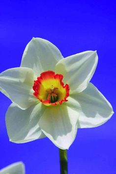 Garden Club of America - a fabulous flower named for a fabulous organization!  Order from Brent and Becky's Bulbs