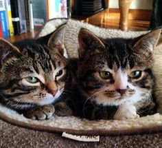 Meet Elfie, a dwarf kitty, who wasrescued from a shelter in Alberta, Canada and found his way to a forever home along with his sister Gimli.