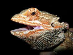 Bartagame, Kopf, Orange, Reptil