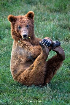 Brown Bear doing a Gym Workout
