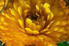 Calêndula, Malmequer, Maravilha-do-jardim   De dupla funcionalidade, a calêndula, além de ornamental, tem usos medicinais e culinários. É uma planta anual, com folhas macias e aveludadas. Ela pode atingir até 50 cm de altura e apresenta caules ramificados com duas hastes principais.   Suas inflorescências são do tipo capítulo, com flores de cor amarela ou laranja, perfumadas, semelhantes as de margaridas. No jardim, podem compor maciços e bordaduras e embelezar vasos e jardineiras.   Também…