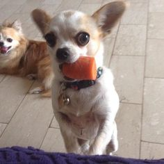 Pin by jennifer wood on chihuahuas животные Teacup Chihuahua, Chihuahua Puppies, Cute Puppies, Chihuahuas, Funny Chihuahua, Pet Dogs, Dog Cat, Doggies, Baby Animals