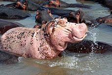 As everyone knows, it's not easy being different. And when you are a hippopotamus having a fetching pink hide is definitely not.
