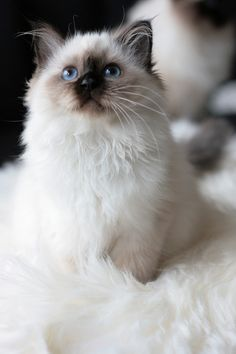 Himalayan Ragdoll Kitten. If one is available to adopt, I would love to eventually.