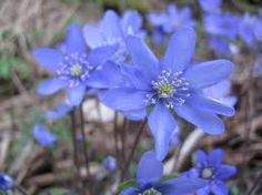 blåweiss...blå is blue in Norwegian so kinda like adelweiss you have this spring flower.  It pops up in February and everyone heads to the woods to see the first flowers of spring.  We went to a place called Esso skogen.  Esso is the fuel company and skogen is the woods.