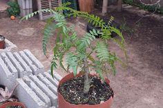 Diseñar un bonsái paso a paso - Primer trabajo - http://www.jardineriaon.com/disenar-un-bonsai-paso-paso-primer-trabajo.html