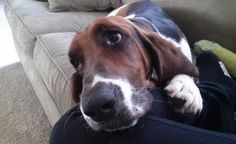 Basset hound owners all have one thing in common - they all experience and understand these funny problems...