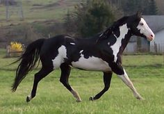 """""""Max's Powerhouse"""" - black and white overo stallion with blue eyes - APHA champion (photo by Bluebarn Farm 11)"""