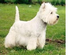 Care of Your Westie