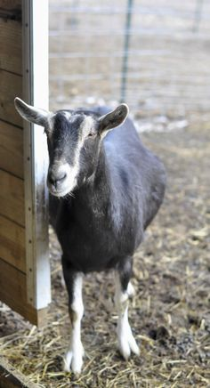 ► Bathsheba peaking around the corner saying hello. Bathsheba is Greyden's favorite. He tends to spoil her. Check it out: http://gmsoap.co/1tKvg1F #farm #goats #cute