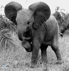 Baby Elephant- black and white photography