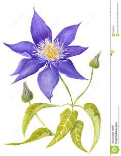 Image result for clematis botanical illustration