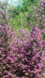 Native Tastes of Australia website  Native herbs and bushtucker recipes