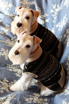 Two darling white mini schnauzers just to cute❤
