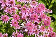 """Echinacea """" Pink Double Delight """" ® - třapatkovka Zahradnictví Krulichovi - zahradnictví, květinářství, trvalky, skalničky, bylinky a koření Double Delight, Garden, Butterflies, Plants, Pink, Garten, Lawn And Garden, Gardens, Butterfly"""