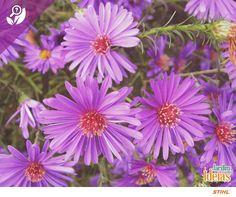 Queremos colorir seu dia com uma bela flor: a Áster! Essa espécie de caules longos, tem várias tonalidades e atrai abelhas e borboletas. Você sabia que seu nome significa lealdade?