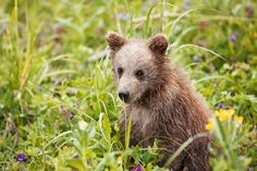 Brown bear cub in the Alaskan wilderness My Alaska brown bear tour with photographer with ArtWolfe was very exciting and productive. The light cloud cover was perfect for wildlife photography creating a giant outdoor soft box. Art and I shared a cabin and it is always interesting listening the experiences of one of the premier …