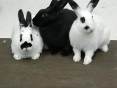 Blossum & Bubbles & Buttercup is an adoptable English Spot Rabbit in Edina, MN. Sugar, spice, and everything nice. Our foster mom said that describes us to a T. My name is Blossom. I'm the one that is...