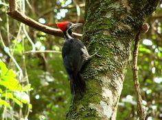 Aves Brasileiras * Pica-pau-de-banda-branca *