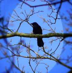 6 Amazing Truths About Crows (Video)
