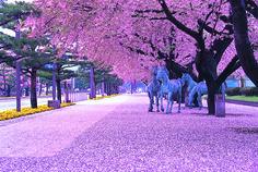 Aomori Prefecture in Japan during cherry blossom season.