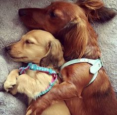 The Perfect Pair;) BF Always! #dachshund .