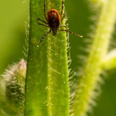 Deadly Tick Virus on the Loose. Avoid the Deadly Powassan Virus: 9 Ways to Prevent Tick Bites Dr Josh Axe, Dr Axe, How To Treat Pcos, Tick Bite, Anti Oxidant Foods, Cellular Energy, Memory Problems, Natural Treatments, Natural Remedies