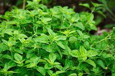 Dobromysl obecná čili oregano je divoká rostlina s tuhým kořínkem, přečká i velkou zimu. Pro své léčivé vlastnosti byla rostlinka oblíbenou bylinkou