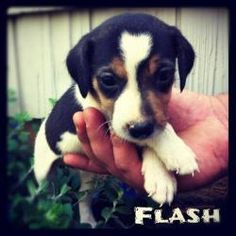 Flash is an adoptable Beagle Dog in New Milford, CT. THESE PUPPIES ARE KNOWN AS 'JACK-A-BEE' PUPPIES. This is a litter of 9 puppies, found dumped at an abandoned barn along with their Mom. They are cu...