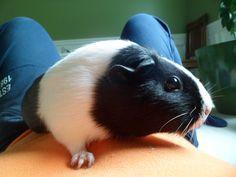 This is my sisters guinea pig kiku. My Sister, Guinea Pigs, Sisters, Pets, Animals, Animales, Animaux, Animal, Daughters