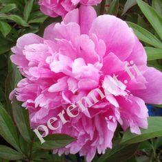 "Perennat Kiinanpioni PAEONIA lactiflora ""Doctor Alexander Fleming"" perenna"