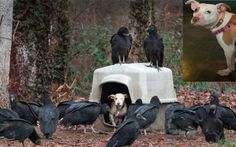 Neglected Pit Bull Puppy Surrounded By Vultures Waiting For Her To Die Is Saved – USA PitBulls – dogs for smart people