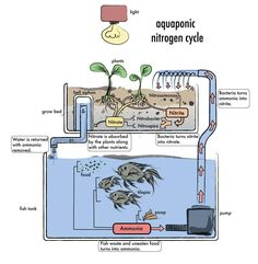 Aquaponics is the cultivation of fish and plants together in a closed loop eco-system whereby fish waste provides natural fertilizer for the plants and in turn, the plant roots clean the water for the fish. It is a completely natural and chemical free-system that results in both animal protein and healthy, fresh vegetables #AquaponicsDiy
