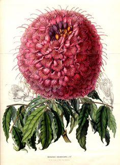 Flore des serres et des jardins de l'Europe by Charles Lemaire (1850)