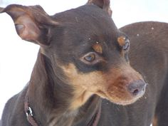 See related links to what you are looking for. Mini Pinscher, Miniature Pinscher, Min Pins, Doggies, Puppies, Chocolate, Google Search, Lady, Brown