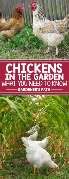 Have you been inspired to allow your chickens to help in the garden? While the results can be amazing, there are some common pitfalls to the practice. Get the truth about what it takes for your feathered friends to be truly cooperative this season – read more now on Gardener's Path.