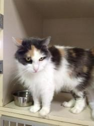 Blossom is an adoptable Domestic Long Hair Cat in Redwood City, CA.  To find out more about this cat, please email us at ninelivesfoundation@gmail.com .Long-haired calico Blossom (DOB 2008) is a lovel...