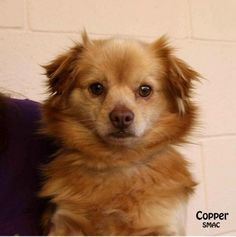 Santa Barbara County Animal Svcs; Santa Maria, CA. <3 Copper! • Pomeranian • 2 yrs • Male • Small. Pet ID: A411881 Adorable Copper is a great guy who, when out in the yard, loves to run around & be happy go lucky! After, he's ready for some cuddling & affection. Nice boy who'd make a great addition to a family. Seems very sweet & quiet. Copper, however, does not like every dog he meets, so bring your pup w/ you to meet him!