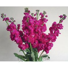 Stock Hot Pink Flower