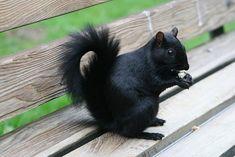 """Melanistic or """"Black"""" squirrel"""