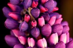 Colourful flowers photographed in Hobart, Tasmania. Pink and purple lupins. Photographed by Emily Spotswood - espotswood@memail.smc.tas.edu.au