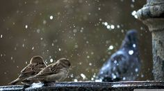 Sparrows in Fountain
