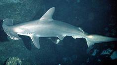 Uma expedição no oceano Pacífico descobriu que duas espécies de tubarão nadam próximas a vulcões submarinos.
