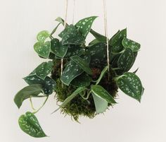 kokedama ball string garden | Kokedama Style Hanging Plant Balls | Ideas Realized