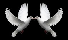 Memory Doves.net | Dove release for funerals, weddings, and all your special events!