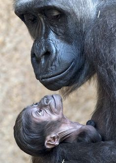 nationalpostphotos:  NEW BORN: Gorilla mother Kumili arms her newborn at the zoo in Leipzig, central Germany, Thursday, March 20, 2014. The ...
