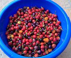Chili Ernte 2016 Chili, Blog, Harvest, Lawn And Garden, Chile, Blogging, Chilis