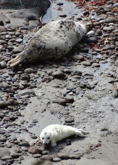 Seal pup and mum, Cornish cove