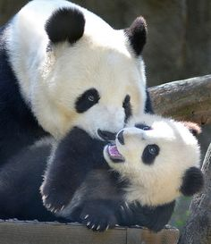 ~~Stop it, mom! ~ Panda Bear cub gets some attention from mom by Stinkersmell~~