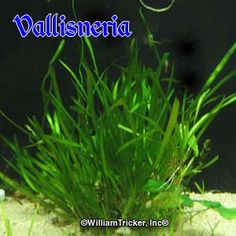Vallisneria is one of the best oxygenating plants for a water garden pool or aquarium. Purchase today to improve your water quality. Nature Aquarium, Planted Aquarium, Garden Pool, Water Garden, Freshwater Plants, Freshwater Fish, Tiny White Flowers, Aquatic Plants, Fresh Water
